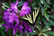 SA B1003S Swallowtail on Purple Rhodie