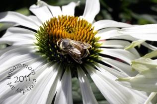 SA B1102B white echinacia bee