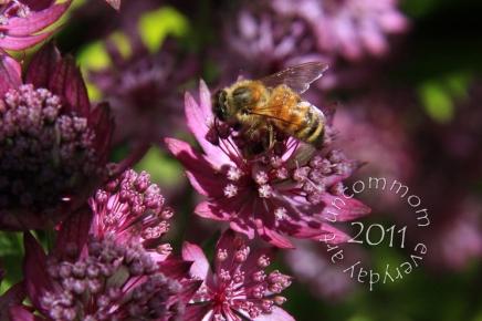 SA B1104H July Honeybee wings