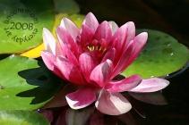 SA F0809W Pink Water Lily