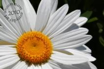 SA F1003D Summertime Daisy Slice