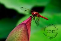 SA F1201D Red Dragonfly on Lotus Bud