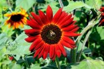 SA F1201S red sunflower