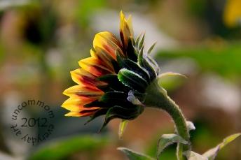 SA F1202S sunflower profile