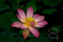 SA F1204L Pink Lotus