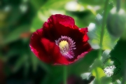 SA F1301P Red Poppy