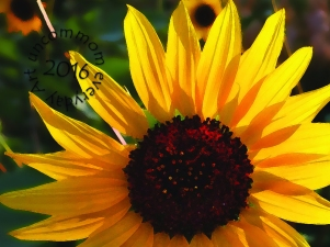 SA F1501S Backlit Sunflower_