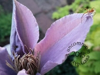 SA F1504C Clematis and spider_