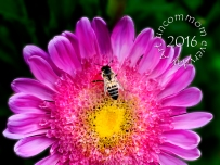 SA F1601A Aster with bee_