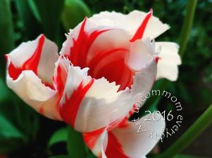 SA F1602T Red White Tulip_
