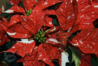SA C0905 Red White Green Poinsettia 1000