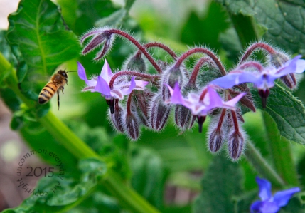 Bee with Borage