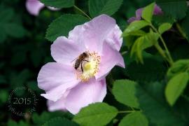 Bee on Dog Rose