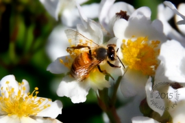 Bee on Cluster roses