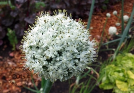 Allium Onion bloom
