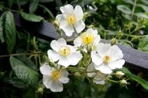 Multiflora roses